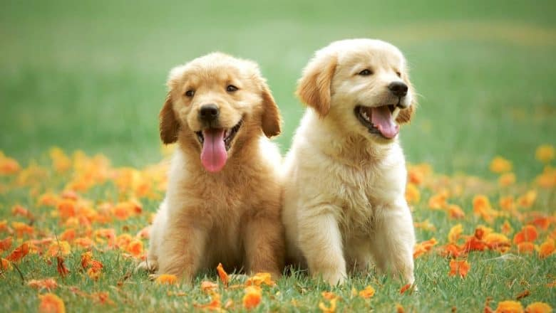 Hamilton Dog Training for an Effective Recall