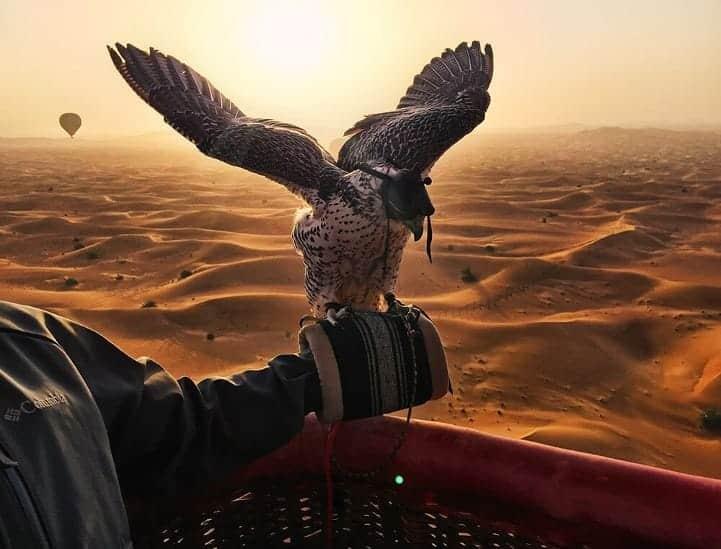 Dubai hawk